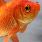goldfish aquaponics