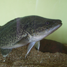 murray cod aquaponics