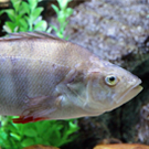 perch fish for aquaponics