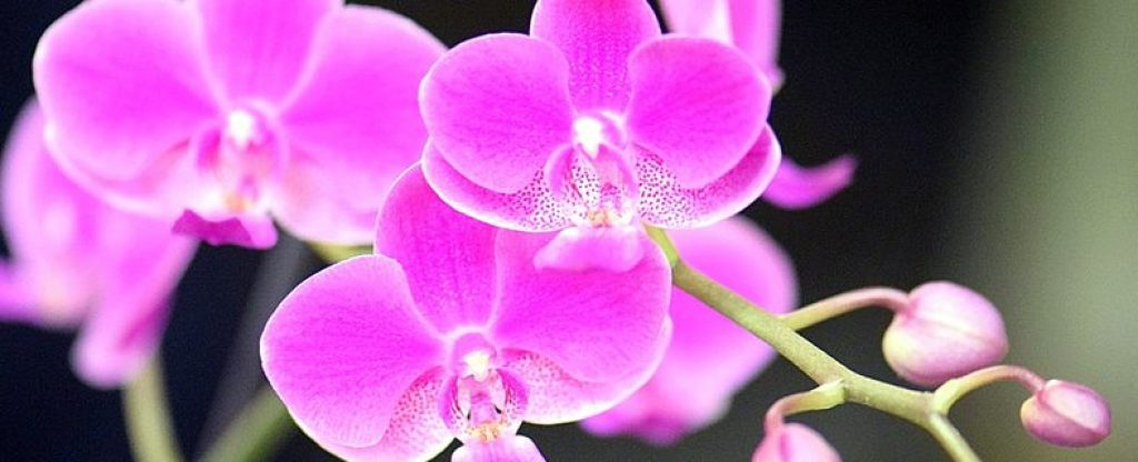 orchid hydroponic